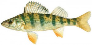 yellow_perch_imagelarge